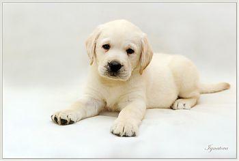 Лабрадор-ретривер щенок
