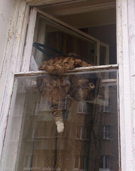 Спящий в форточке кот