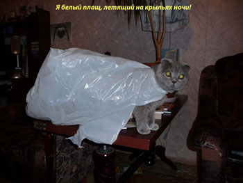 Кошка породы Скоттиш-фолд - фото 3