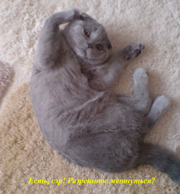 Кошка породы Скоттиш-фолд - фото 6