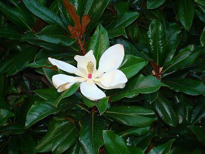 Цветок магнолии