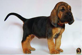 Бладхаунд щенок